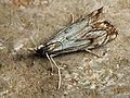Catoptria falsella (40828127841).jpg