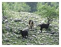 Cattle-and-goats-grazing-in-the-Collina-Materana-forests.jpg