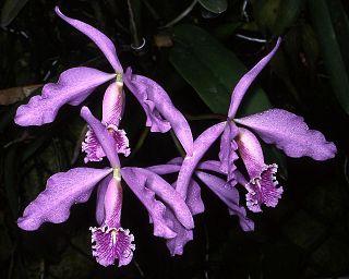 <i>Cattleya maxima</i> Species of plant
