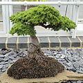 Cedrus brevifolia-IMG 6103.jpg