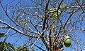 Ceiba speciosa - Naples Botanical Garden - Naples, Florida - DSC09745.jpg