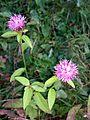 Centaurea nigra (15285985760).jpg