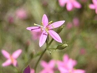 Zeltnera namophila - Image: Centaurium namophilum