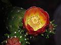 Centuri fleur de cactus.jpg