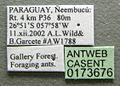 Cephalotes eduarduli casent0173676 label 1.jpg