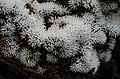 Ceratiomyxa fruticulosa (O.F. Müll.) T. Macbr 489599.jpg