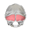 Cerebellar fossa of occipital bone01.png