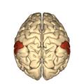 Cerebrum - supramarginal gyrus - superior view2.png