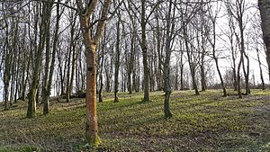 Chanctonbury Ring - View of the interior of Chanctonbury Ring, where the remains of two Roman temples are located a short distance below the surface