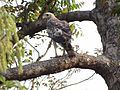 Changeable Howk Eagle - Nisaetus cirrhatus DSC01357.jpg