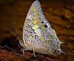 Charaxes solon at MNP.jpg