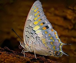 Charaxes solon in Mahim Nature Park, Mumbai