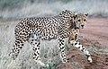 Cheetah (50570996837).jpg