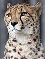 Cheetah head 2 (5018338910).jpg