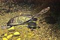 Chelodina mccordi at the Columbus Zoo-2011 07 11 IMG 0643.JPG