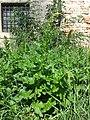Chenopodium bonus-henricus sl12.jpg