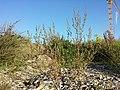 Chenopodium strictum sl2.jpg