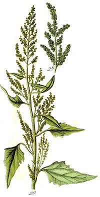 Chenopodium urbicum Sturm26.JPG