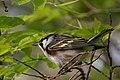 Chestnut-sided Warbler (male) Sabine Woods TX 2018-04-28 07-15-05 (42154068332).jpg