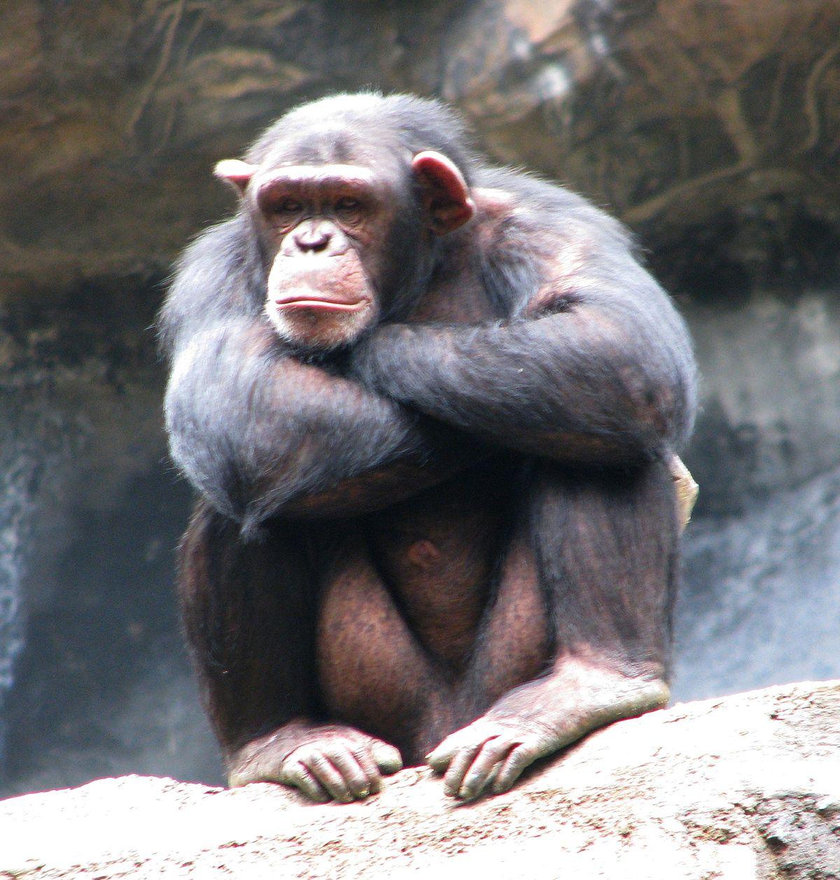 chimpanzee wikipedia