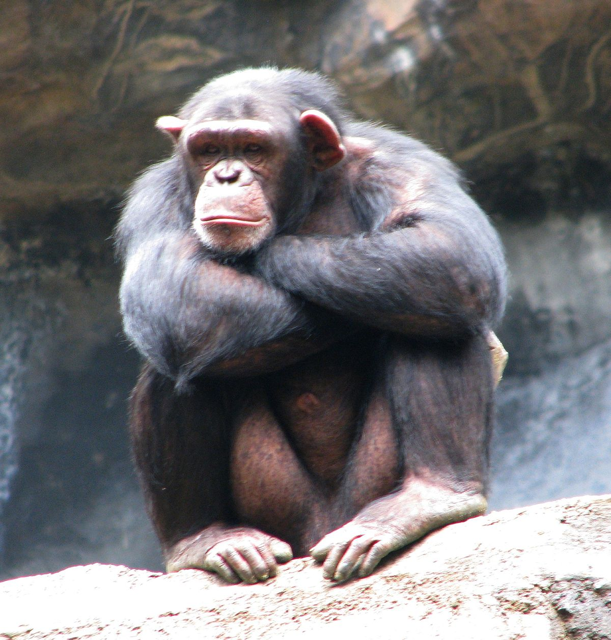 Bald chimpanzee pictures