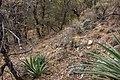 Chiricahua Mountains, Cave Creek Trail below Sunny Flat - Flickr - aspidoscelis.jpg