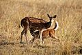 Chital Mother.jpg