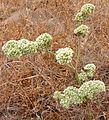 Chorizanthe robusta.jpg