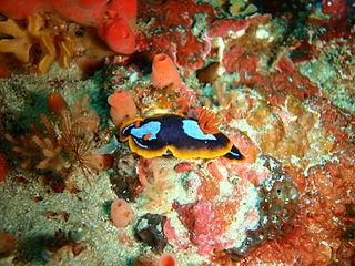 <i>Chromodoris westraliensis</i> species of mollusc