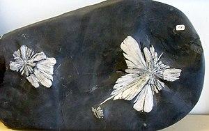 Liuyang - Chrysanthemum Stone (celestine in limestone) from Liuyang