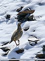 Chukar Partridge (Alectoris chukar) (28227078387).jpg