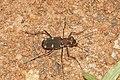 Cicindelidae 8987.jpg