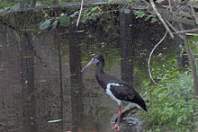 Cicogna di Abdim (Ciconia Abdimii)