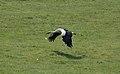 Ciconia ciconia flight.jpg