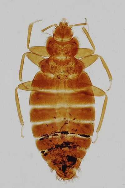 File:Cimex-lectularis-bedbug.jpg