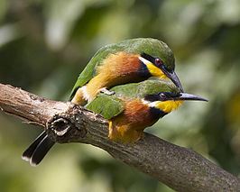 Cinnamon-chested Bee-eater (Merops oreobates) pair - Flickr - Lip Kee.jpg