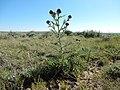 Cirsium flodmanii (26971290214).jpg