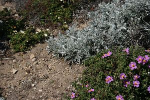 Garrigue - Cistus and Senecio are characteristic plants of the garrigue.
