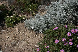 Garrigue - Cistus and Senecio are characteristic plants of the garigue.