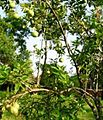 Citrus macroptera.jpg