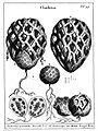 Clathrus ruber by Micheli 1729.jpg