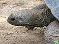 Close-up of the tortoise's head. - panoramio.jpg