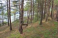Coastal Forest, Saaremaa, Estonia.JPG
