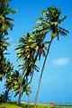 Coconut trees on Japaratinga beach.jpg