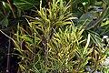 Codiaeum variegatum 39zz.jpg