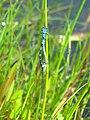 Coenagrion pulchellum fmm1.jpg