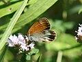 Coenonympha.arcania.jpg