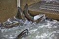 Coleman National Fish Hatchery (29823337213).jpg