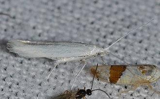 Coleophora pruniella - Image: Coleophora pruniella – Cherry Casebearer Moth possible Ken says Coleophora species (14275888807)