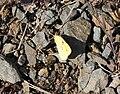 Colias-crocea-20130811-3.jpg